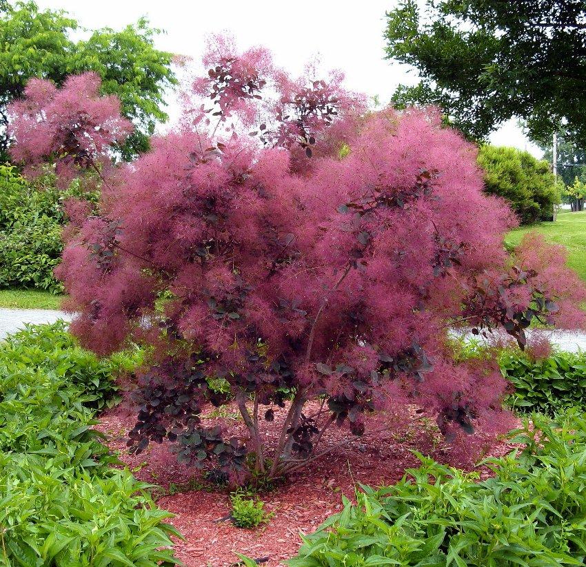 Hardy Purple Smokebush Cotinus Coggygria v Purpureus - 10 Seeds