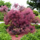 Hardy Purple Smokebush Cotinus Coggygria v Purpureus - 10 Seeds