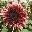 Sunflower 'Marsala Burst' Helianthus Annuus – 25 Seeds