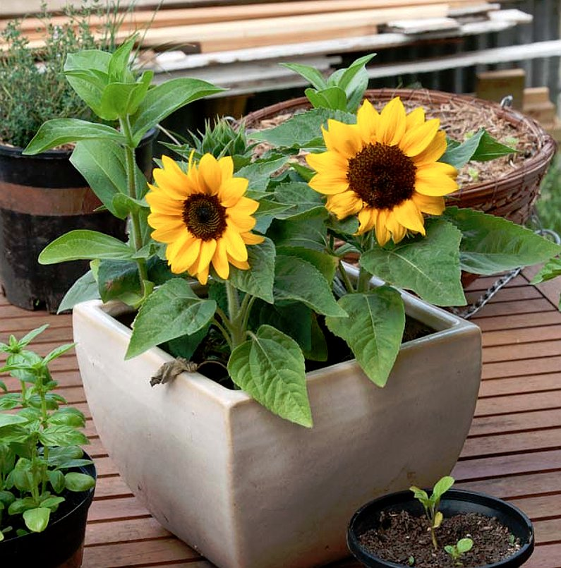 dwarf sunflower little bit helianthus annuus 25 seeds. Black Bedroom Furniture Sets. Home Design Ideas