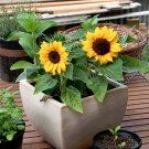 Dwarf Sunflower 'Little Bit' Helianthus Annuus – 25 Seeds