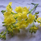 Edible Flowers Mustard Plant Brassica juncea - 300 Seeds