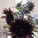 Dark Chocolate Sunflower Helianthus annuus - 20 Seeds