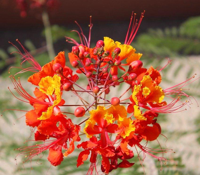 Red Mexican Bird of Paradise Caesalpinia pulcherrima - 8 Seeds