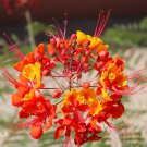 Red Mexican Bird of Paradise Caesalpinia pulcherrima - 12 Seeds