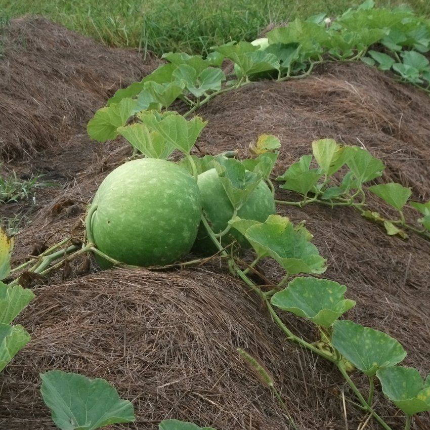 Giant African Bushel Basket Gourd Lagenaria siceraria - 8 Seeds