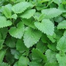Organic Herb Lemon Balm Melissa Officinalis - 200 Seeds