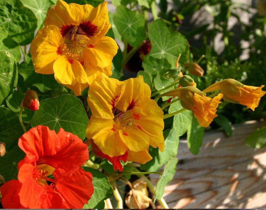 Beautiful Organic Nasturtium Tropaeolum Majus - 25 Seeds
