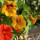 Beautiful Organic Nasturtium Tropaeolum Majus - 25 Seeds