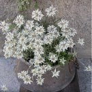 Hardy Edelweiss Alpine Flower Leontopodium alpinum - 100 Seeds