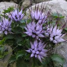 Rare Devil's Claw Tufted Horned Rampion Physoplexis comosa - 25 Seeds