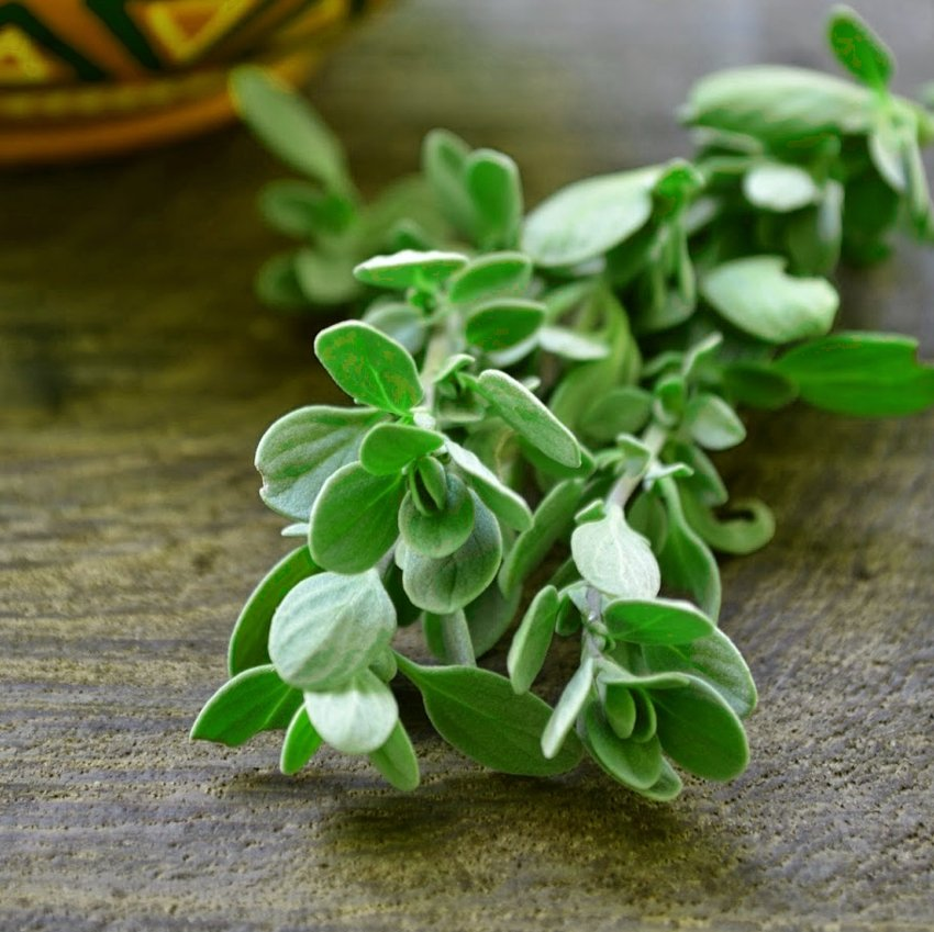 Organic Herb Sweet Majoram Origanum majorana - 100 Seeds