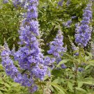 Blue Vitex Chaste Tree Vitex agnus-castus - 20 Seeds