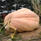 Giant Competition Pumpkin Atlantic Cucurbita maxima  - 5 Seeds