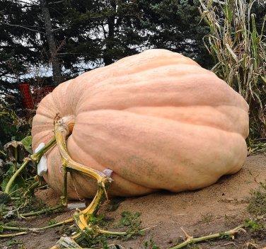 Giant Competition Pumpkin Atlantic Cucurbita maxima  - 5 Seeds