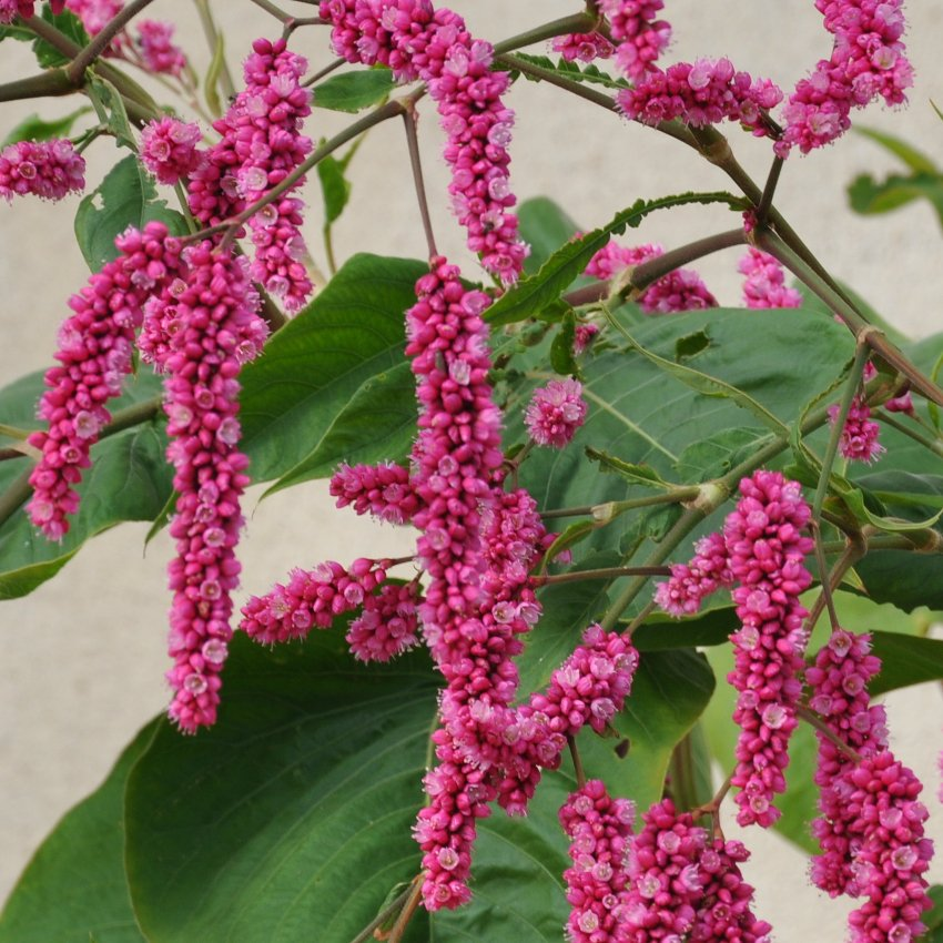 Pink Kiss Me Over The Garden Gate Persicaria Orientalis 15 Seeds