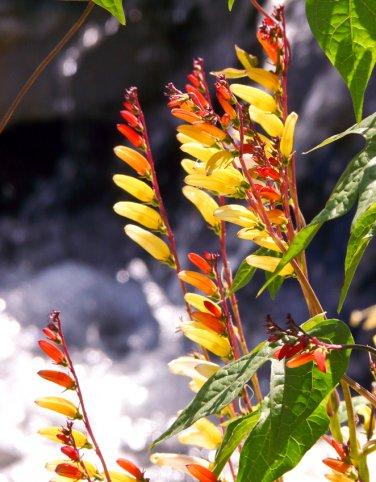Unusual Firecracker Vine Ipomoea lobata - 10 Seeds