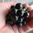 Organic Black True Wonderberry Sunberry Solanum burbankii - 30 Seeds