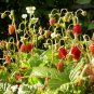 Heirloom Strawberry Plant Fragaria vesca Ruegen - 50 Seeds
