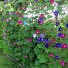 Morning Glory Mixed Ipomoea - 25 Seeds