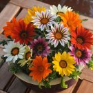 African Treasure Flower Bright Day Mix Gazania rigens - 50 Seeds
