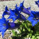 Blue True Alpine Enzian Gentian Gentiana acaulis - 50 Seeds