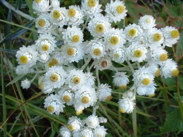 Pearly Everlasting White Anaphalis margaritacea - 100 seeds