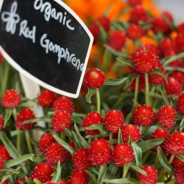 Red Strawberry Fields Globe Amaranth Gomphrena haageana � 50 Seeds