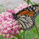 Pink Rose Butterfly Milkweed Asclepias Incarnata  - 50 Seeds