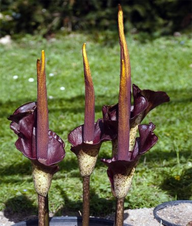 Voodoo Lily Aroid Devil's Tongue Amorphophallus rivieri var. konjac - 5 Small Bulbs