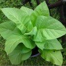 Organic Kentucky Burley Nicotiana Tabacum 'KY14' - 200 Seeds