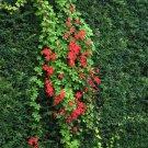 Unusual Chilean Coralito Vine Tropaeolum speciosum - 5 Seeds