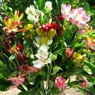 Mixed Peruvian Alstroemeria Ligtu Alstroemeria Hybrida  - 20 Seeds