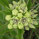 Green Antelopehorn Butterfly Milkweed Asclepias viridis - 20 Seeds