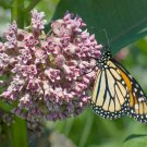 Virginia Silk Common Butterfly Milkweed Asclepias Syriaca - 50 Seeds