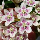 Rare Tropical Rosy Milkweed Vine Wattakaka sinensis - 8 Seeds