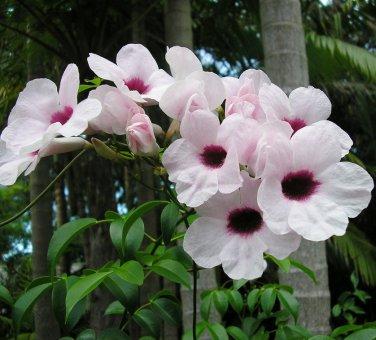 Rare Pink Bower Vine Pandorea Jasminoides - 10 Seeds