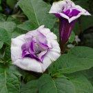 Purple Ballerina Devils Trumpet Datura Metel -10 Seeds