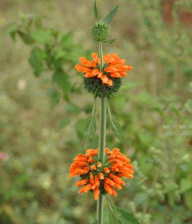 Klip Dagga Lion's Ear Leonotis nepetifolia - 15 Seeds
