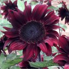 Rare Sunflower 'Black Cherry Praline' Helianthus annuus - 20 Seeds