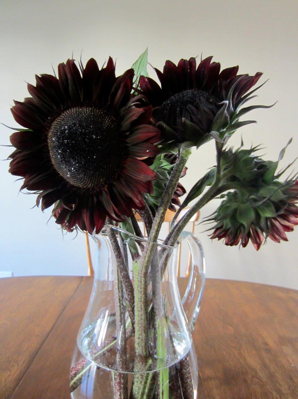 'Dark Chocolate' Sunflower Helianthus annuus - 20 Seeds