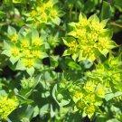 Chartreuse Hare's Ear Bupleurum Rotundifolium - 50 Seeds