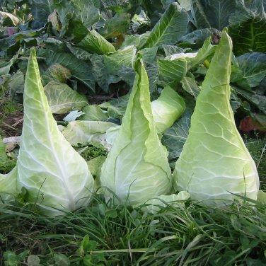 Rare Giant Cone Cabbage Filderkraut Brassica oleracea capitata - 40 Seeds