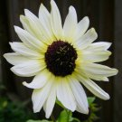 'Italian White' Sunflower Helianthus - 50 Seeds