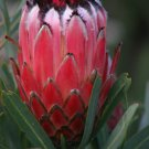 South African Protea Oleander-Leaf Protea neriifolia - 5 Seeds