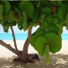 Tropical Sea Grape Beach Tree Coccoloba uvifera - 8 Seeds