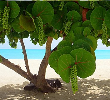 Tropical Sea Grape Beach Tree Coccoloba uvifera - 10 Seeds