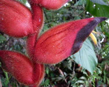Scarce Tropical Colombian Fuzzy Lobster Claw Heliconia Giraldesi - 5 Seeds