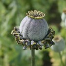Unusual Crazy Poppy Hens & Chickens Papaver somniferum - 100 Seeds