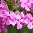 True Wild Garden Phlox Phlox paniculata  - 15 Seeds